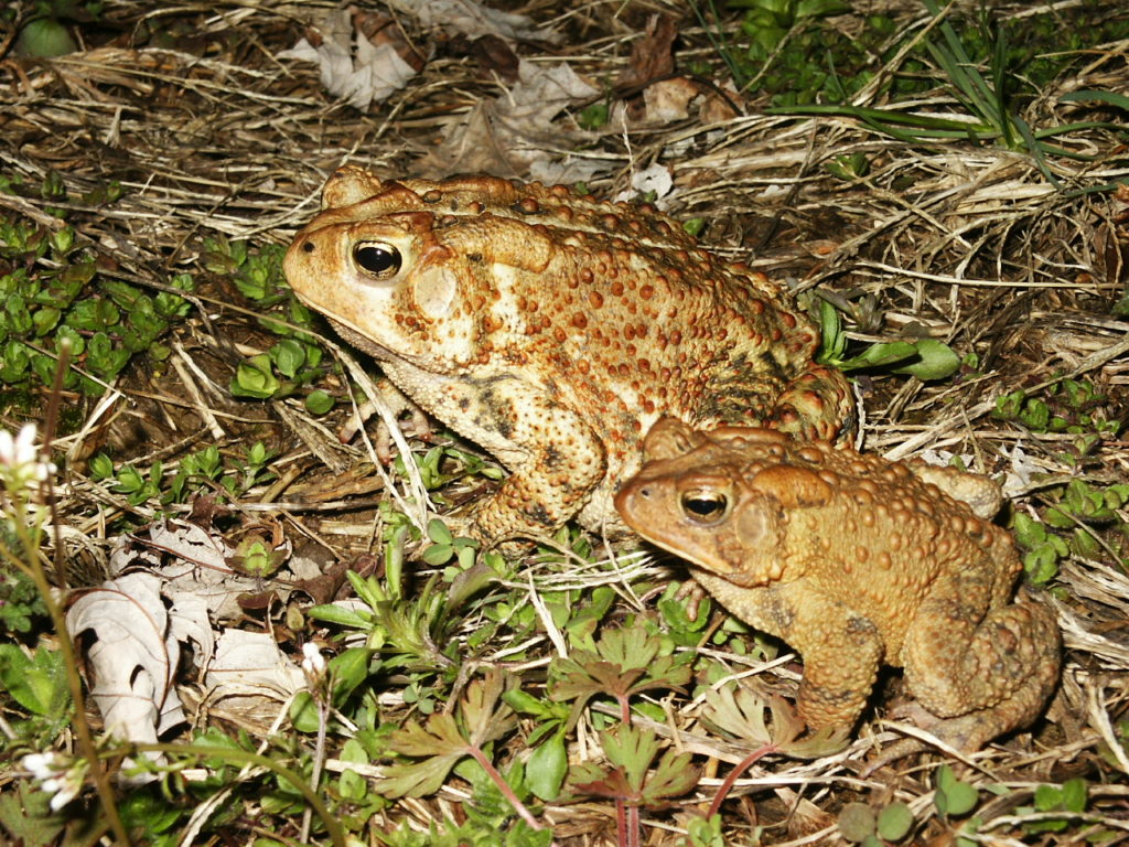 American Toads. PC M. Jacobs