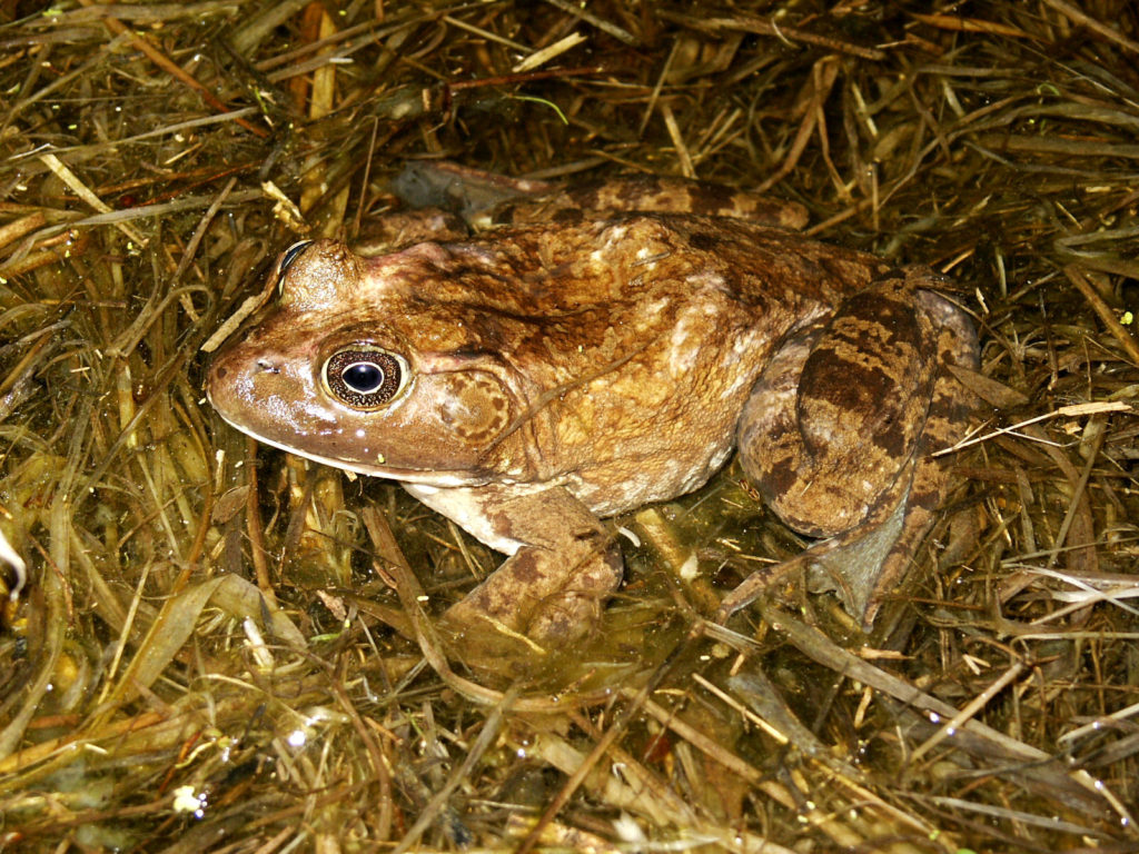 Bullfrog PC M. Jacobs