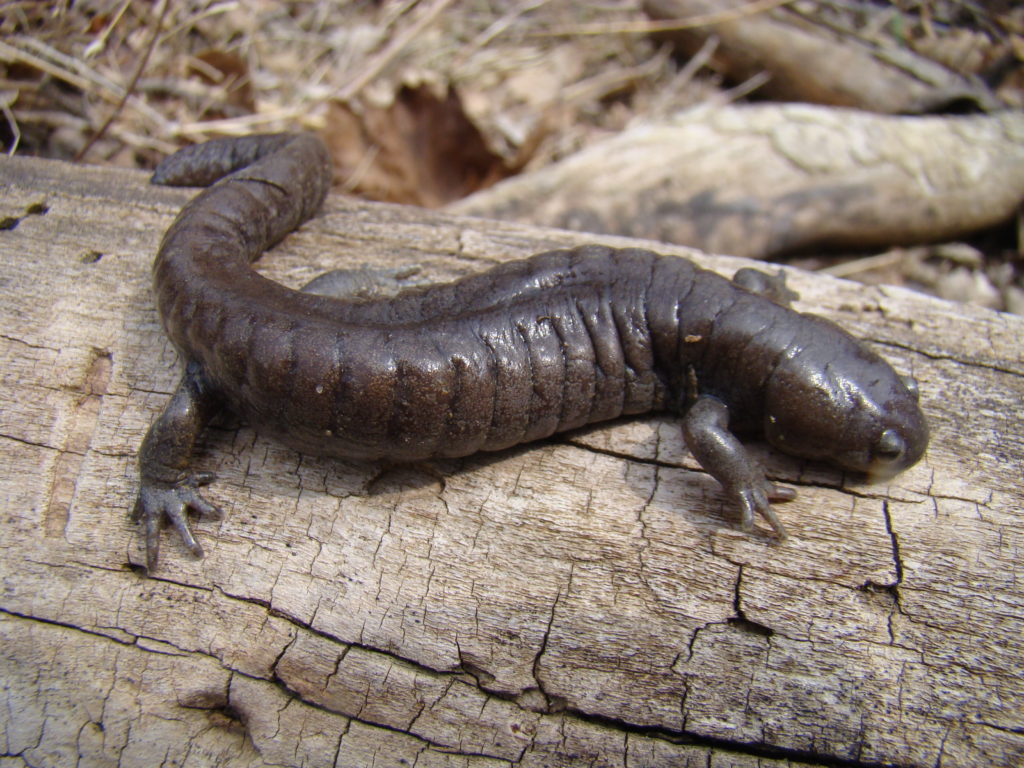 Streamside Salamander (Ambystoma barbouri) PC: Mark Jacobs