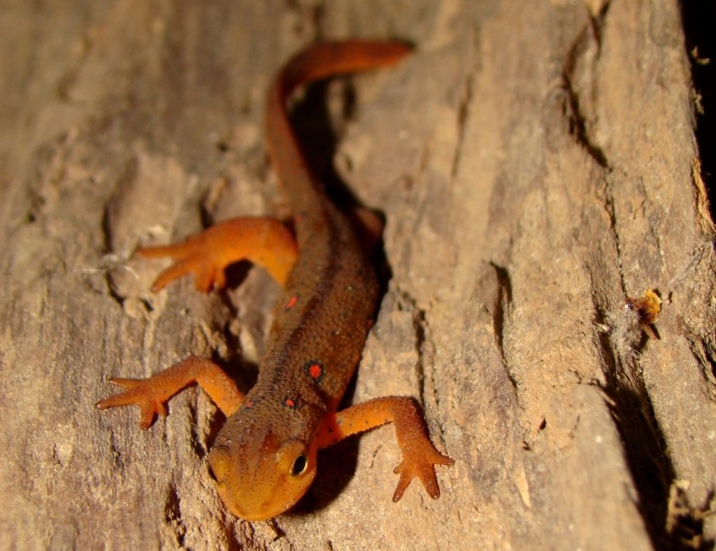 Eastern Newt (red eft stage) PC M. Jacobs
