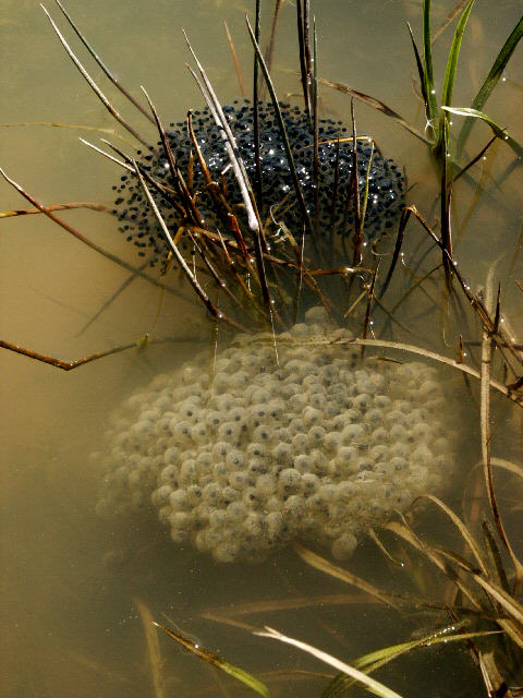 Frog Eggs PC M. Jacobs