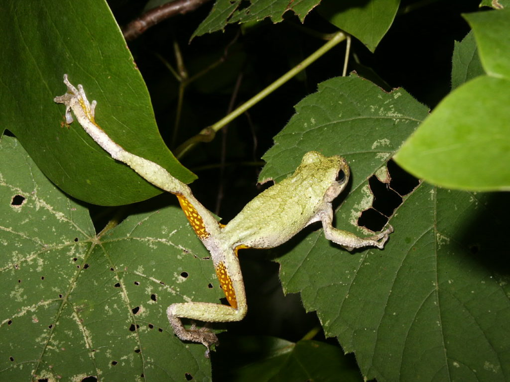 Gray Treefrog (Hyla versicolor) PC M. Jacobs