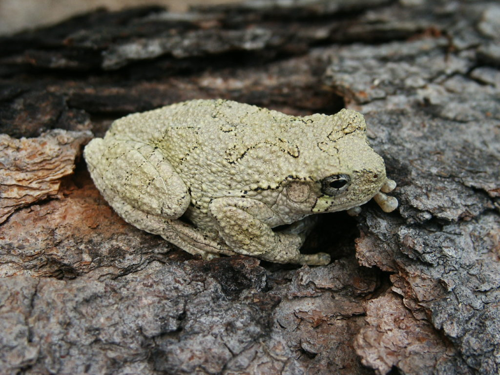 Gray Treefrog PC M. Jacobs