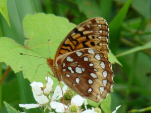 Great spangled fritillary1