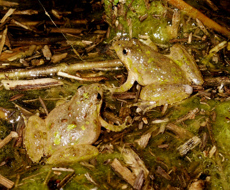 Northern Cricket Frog (Acris crepitans) PC M. Jacobs