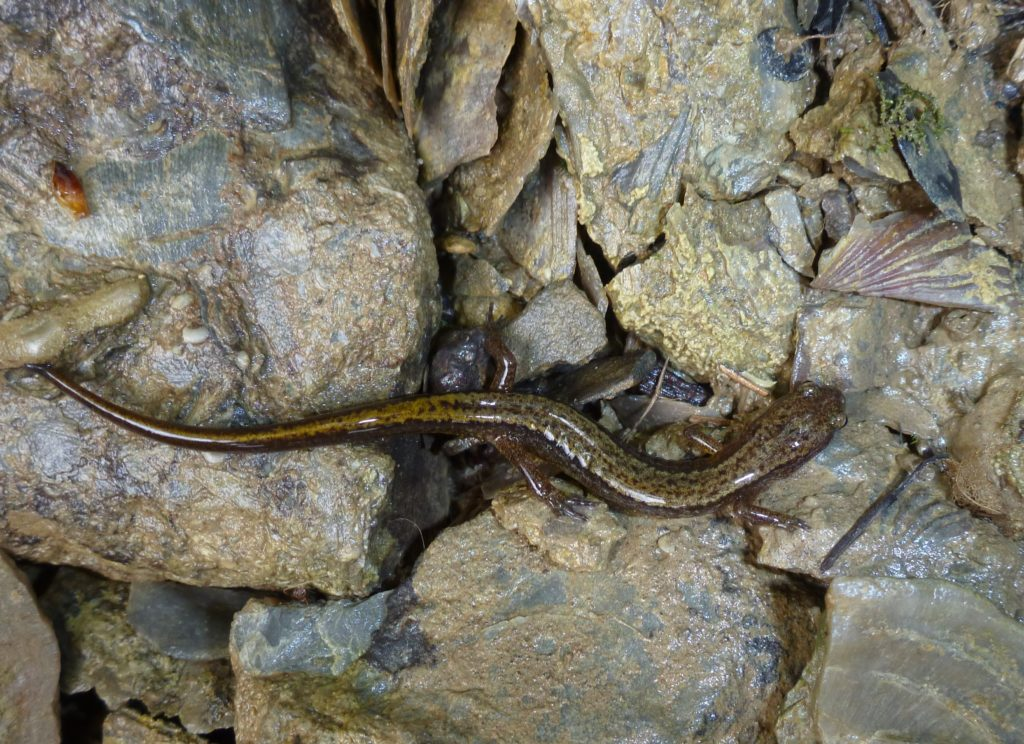 Northern Two-Lined Salamander PC M. Jacobs