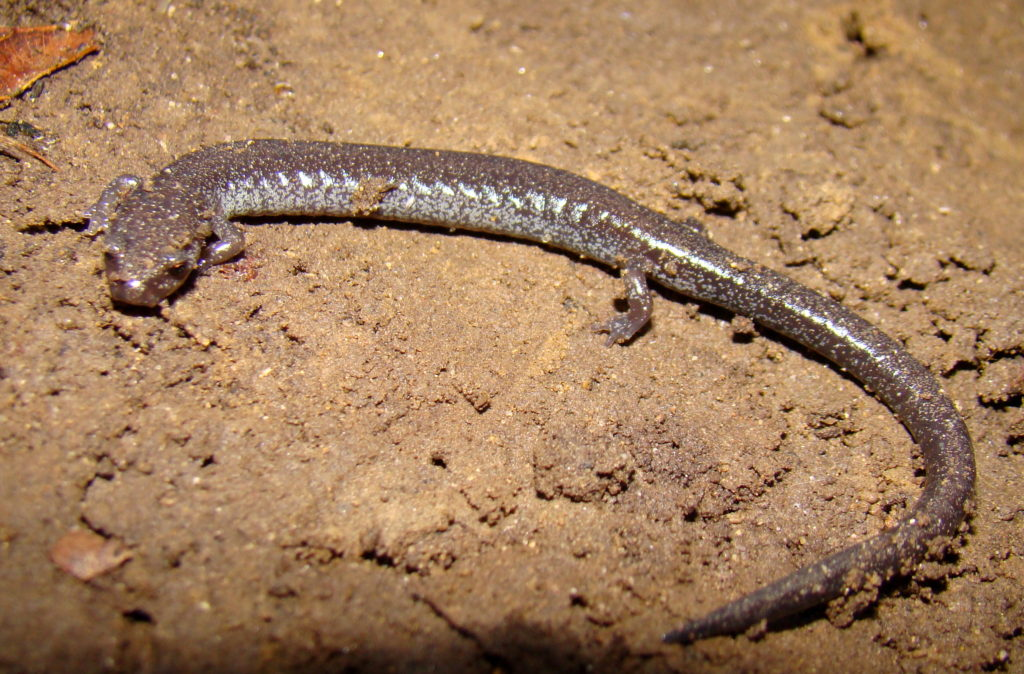 Ravine Salamander (Plethodon richmondi) PC M. Jacobs