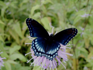 Red Spotted Purple 2