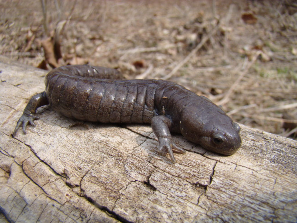 Streamside Salamander  PC M. Jacobs