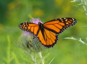 monarch on thistle 001