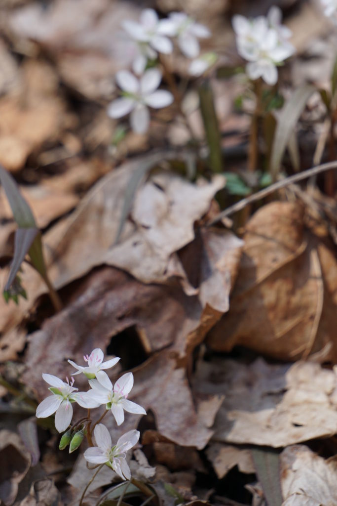 Spring Beauties (Claytonia virginica) PC: Mark Jacobs
