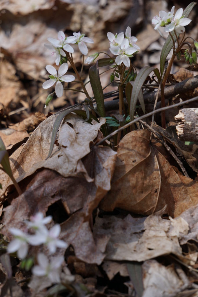 Spring Beauties (Claytonia virginica)