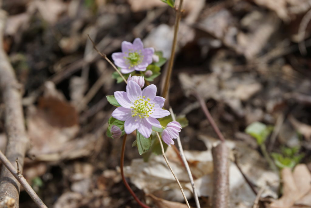 Rue Anenome (Thalictrum thalictroides) PC: Mark Jacobs