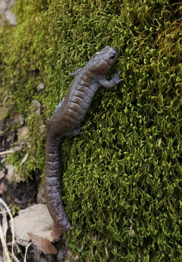 Streamside Salamander (Ambystoma barbouri)