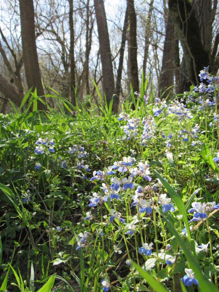 Blue-Eyed Mary (Collinsia verna)