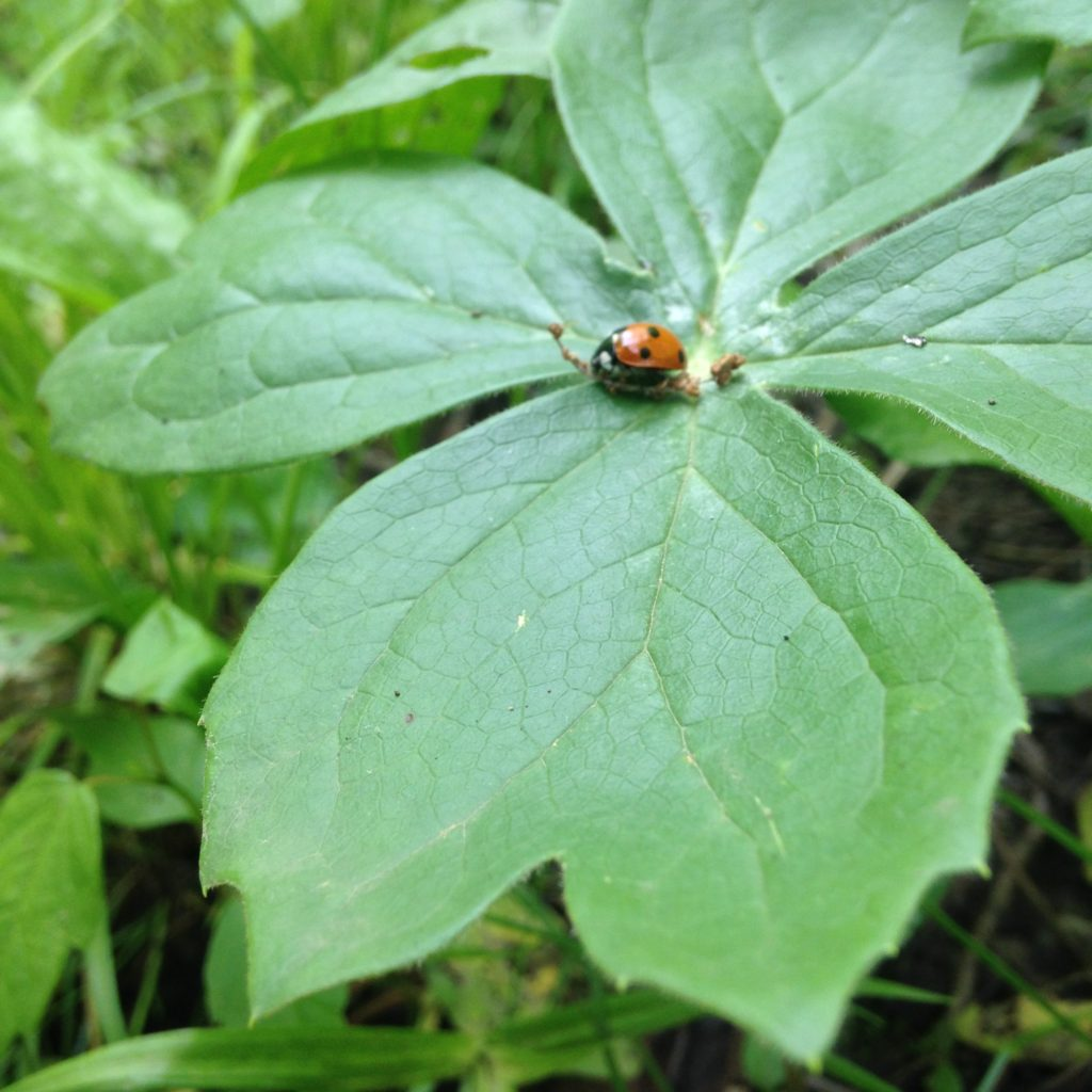 Ladybug on Mayapple (Podophyllum peltatum)_051316 PC: Liz Fet
