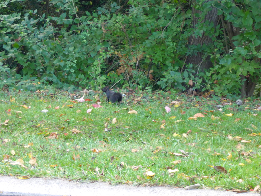 Melanistic or Black Eastern Gray Squirrel (Sciurus carolinensis) in Florence Nature Park_100413 PC: Liz Fet