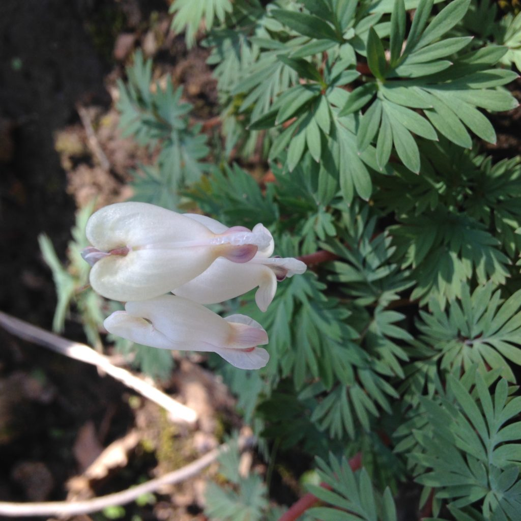 Squirrel Corn (Dicentra canadensis)_040416 front PC: Liz Fet