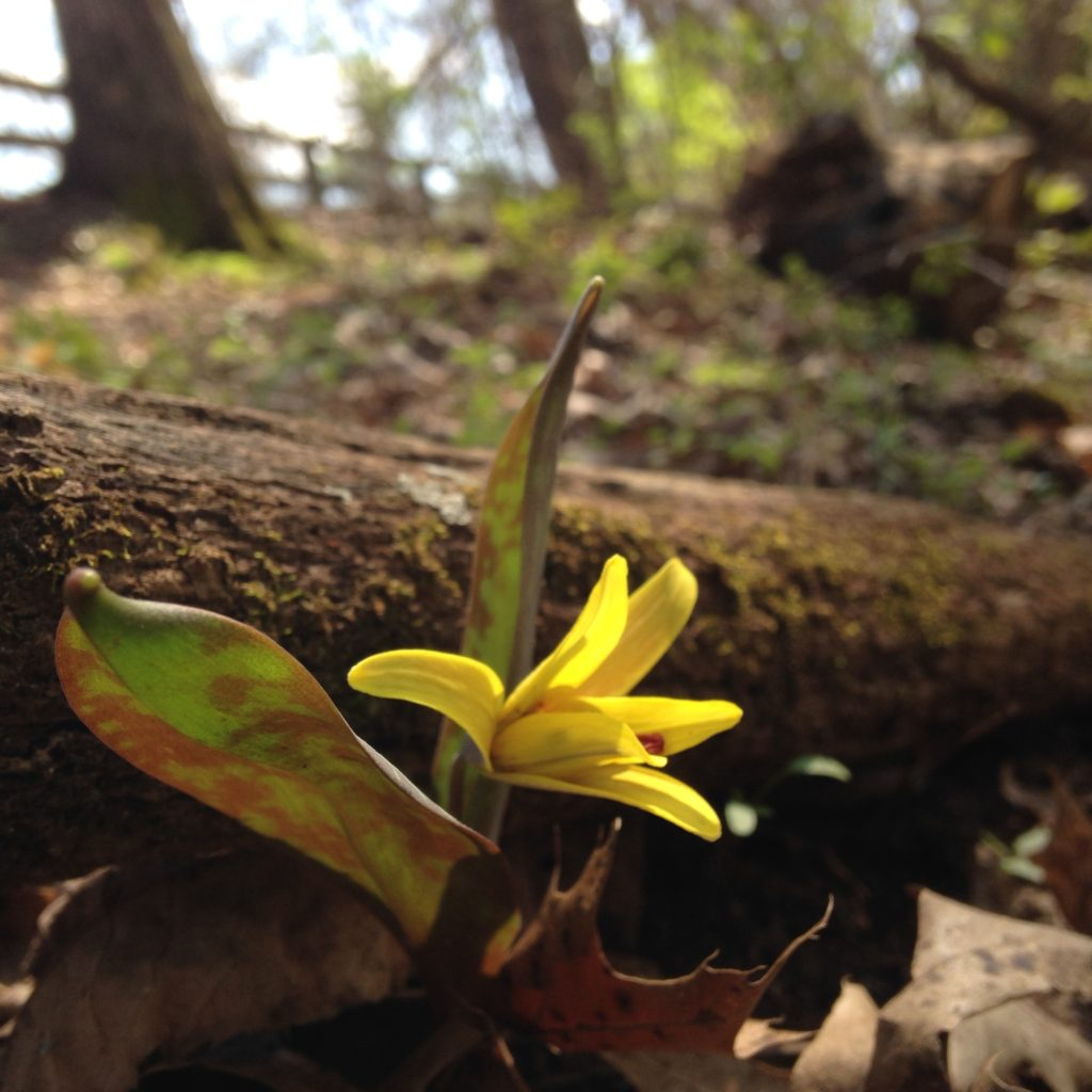 Yellow Trout Lily (Erythronium americanum)_040416 PC: Liz Fet