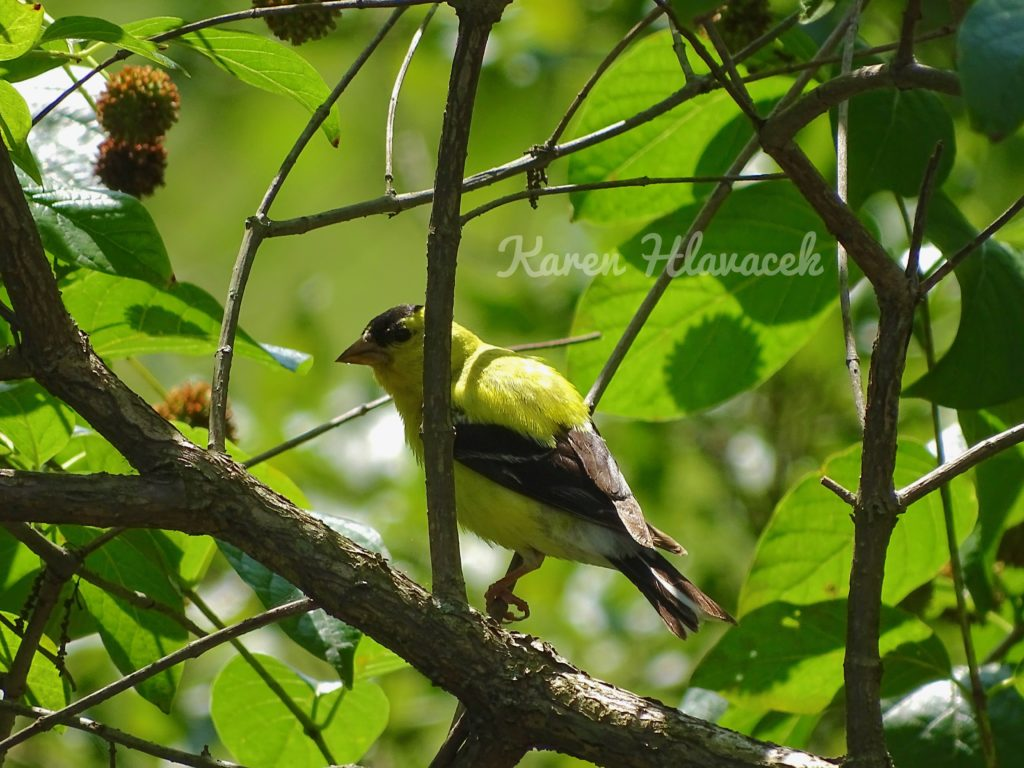 American Goldfinch (Spinus tristis) PC: Karen Hlavacek