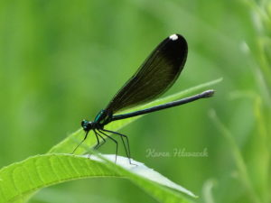 Broad-Winged Damselfly (Calopterygidae) PC: Karen Hlavacek