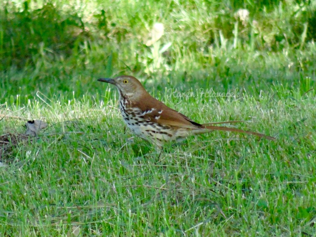 Brown Thrasher (Toxostoma rufum) PC: Karen Hlavacek