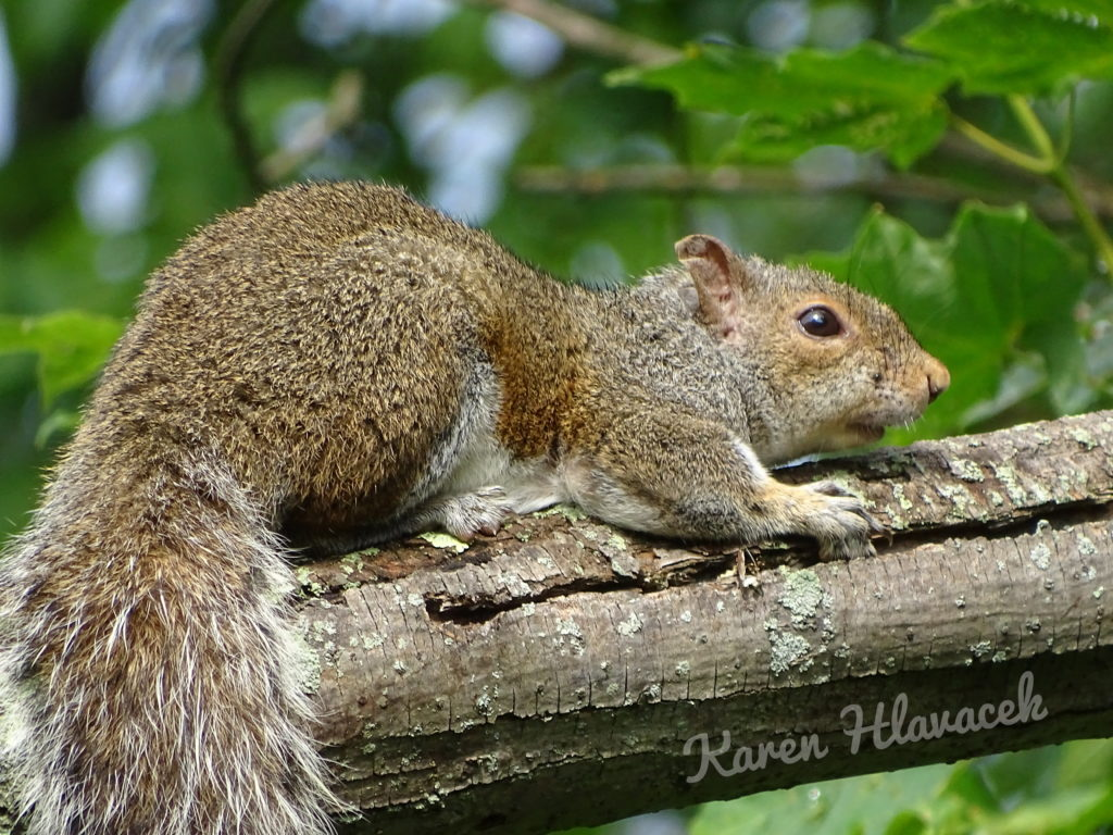 Gray Squirrel (Sciurus carolinensis) PC: Karen Hlavacek