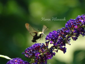 Hummingbird Clearwing Moth (Hemaris thysbe) PC: Karen Hlavacek