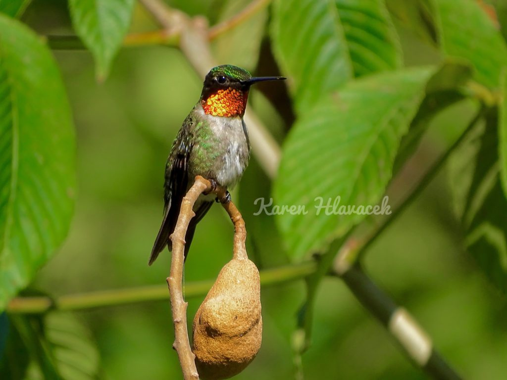 Ruby-Throated Hummingbird (Archilochus colubris) PC: Karen Hlavacek