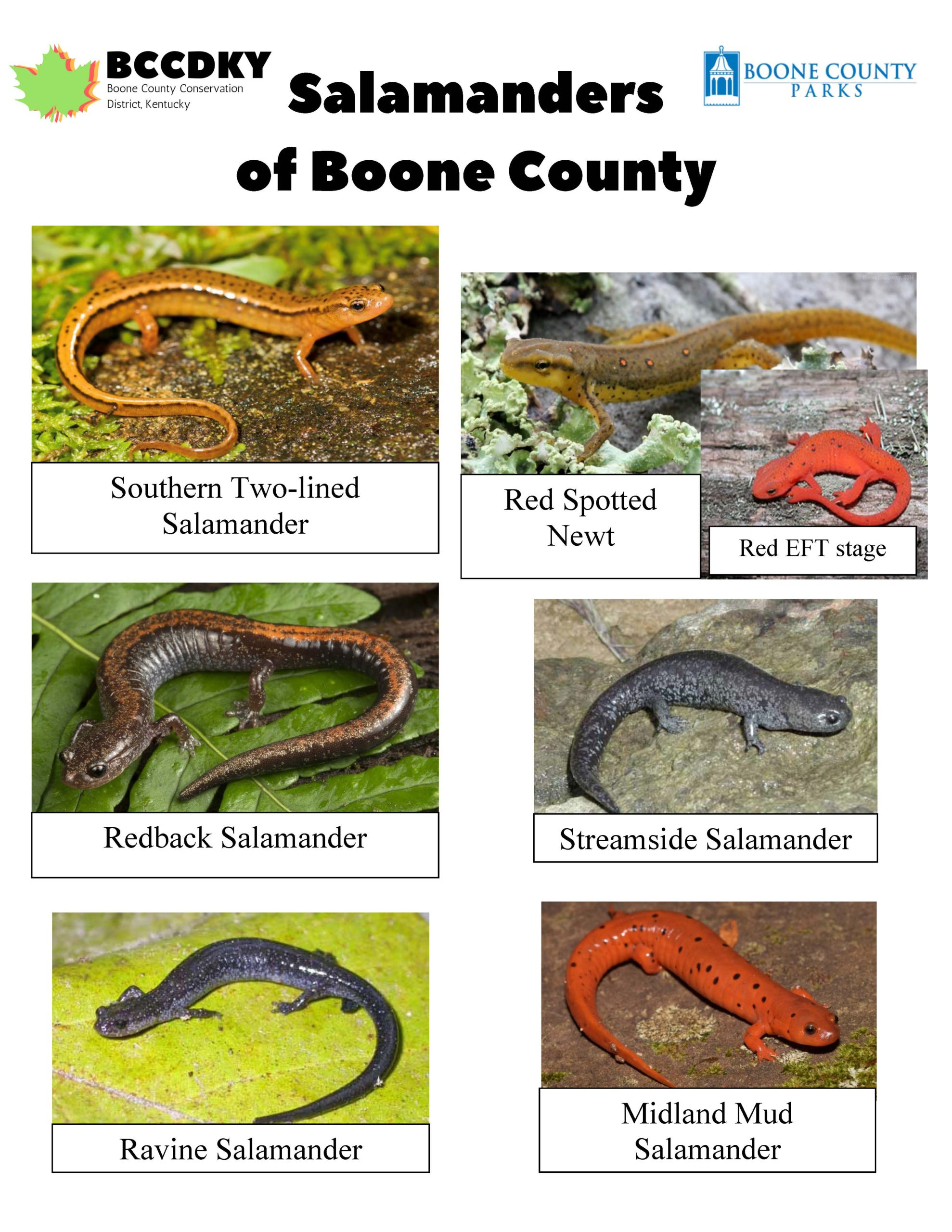 Salamanders of Boone County_Page_1
