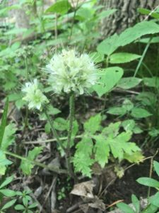 Hairy Waterleaf